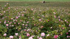 Różany ogród na syberyjskie mrozy?