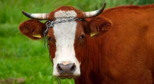 Krowa polska czerwona jest jedną z rodzimych ras bydła w Europie