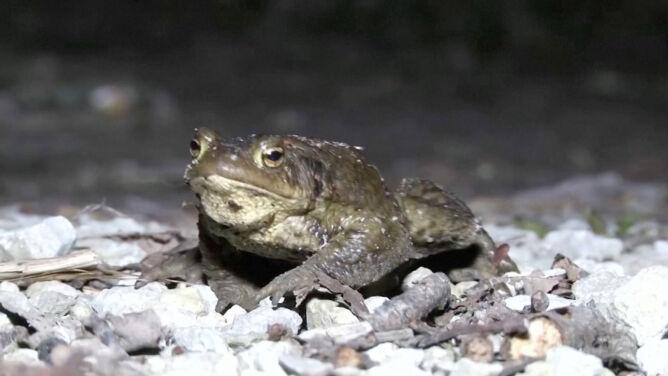 """W tym mieście zamknięto drogę, by chronić żaby. <br />""""Były tu wcześniej niż asfalt"""""""
